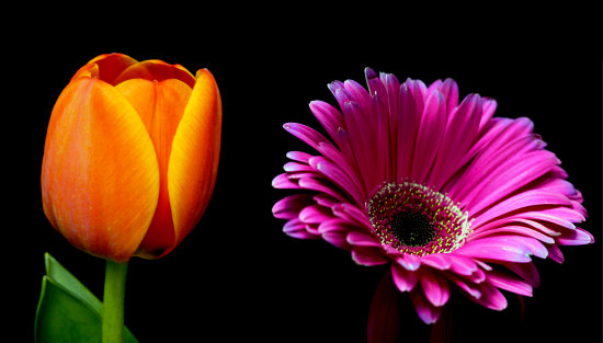 multi colors flower tulip gerber daisy