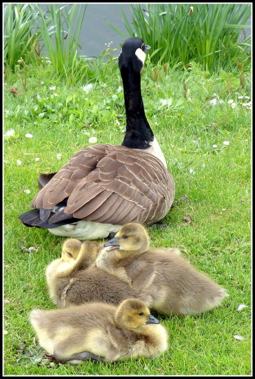 goslings canadageese birds