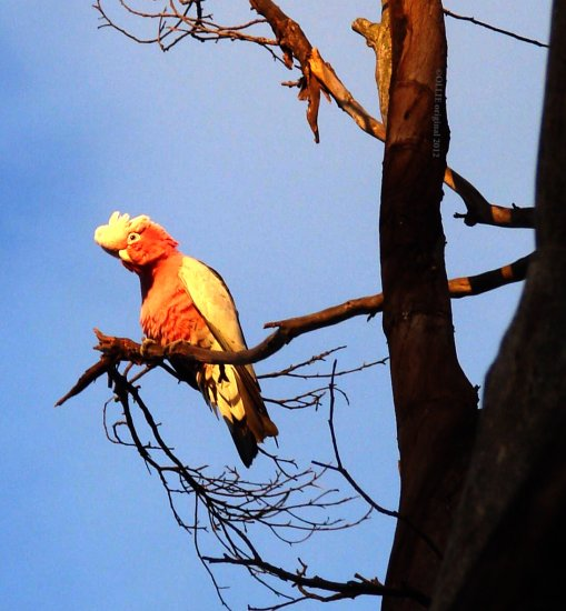 parrot pink and gray sunrise perth hills littleollie