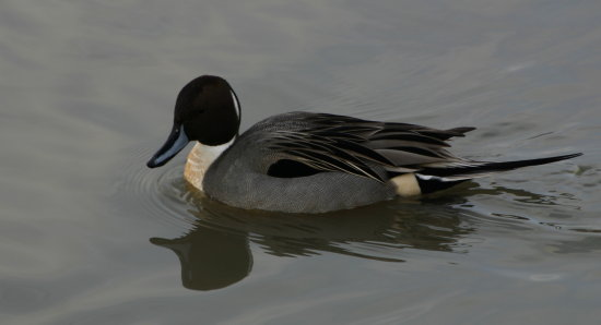 pintail duck reifel sanctuary Delta BC Canada