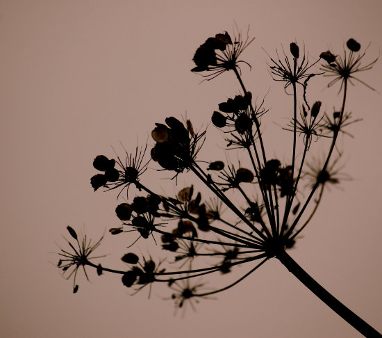 seedhead evening