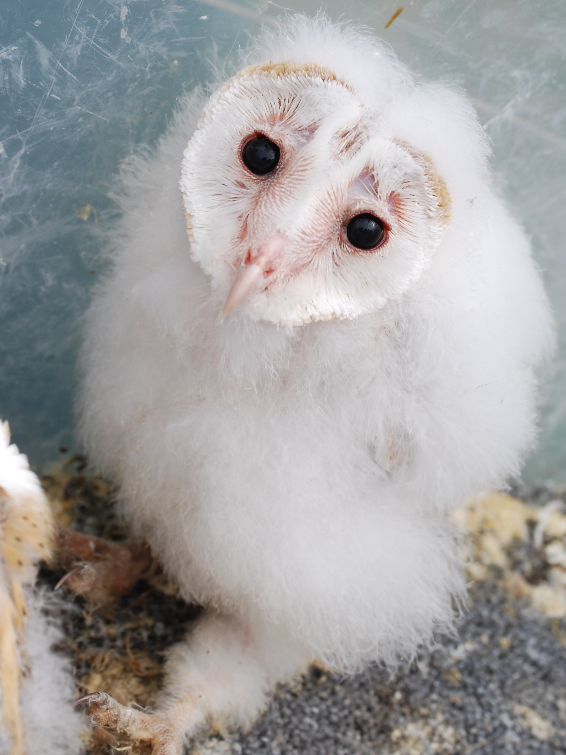 Baby barn owl images - photo#3