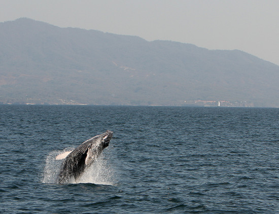 whale humpback leaping water Mexico