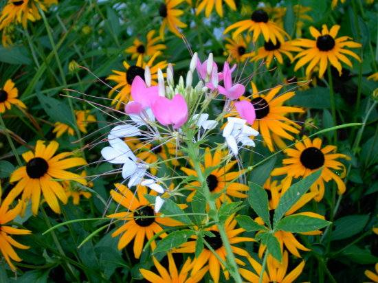 gardens flowers blackeyed susan