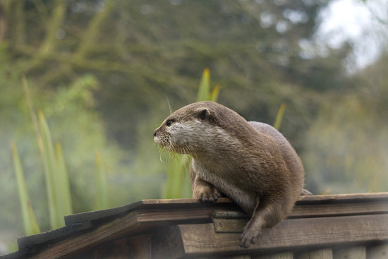 otter wildlife