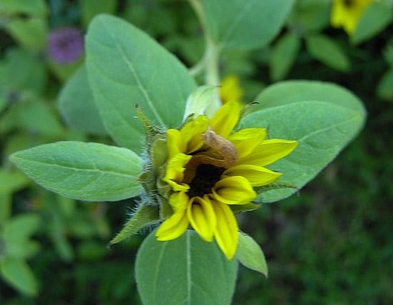 I found some more flower pics. These are from October. This tiny sunflower had a little visitor.