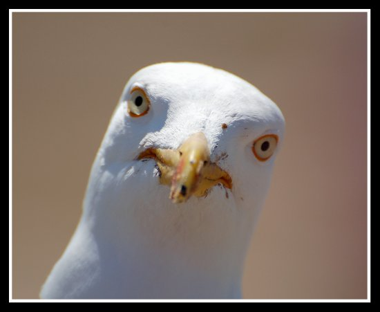 bird herringgull seagull portrait nature carlsbirdclub somerset somersetdreams