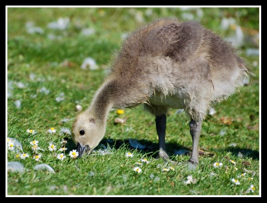 bird goose gosling canadagoose carlsbirdclub cute nature somerset somersetdreams