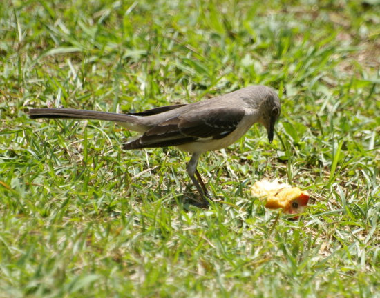 mocking bird trying to figure out apple core