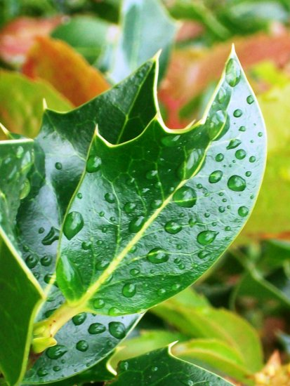holly leaf