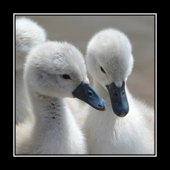 love cute swan cygnet cygnets nature muteswan somerset somersetdreams carl