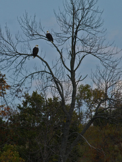eagles baldeagles birds
