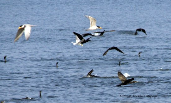Terns cormorants inflight dandeli karnataka india