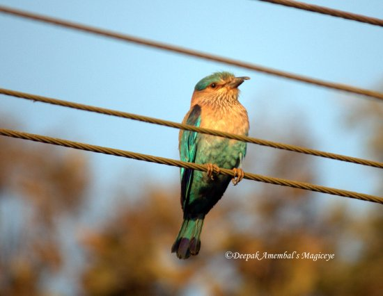 indian roller bird dandeli karnataka india