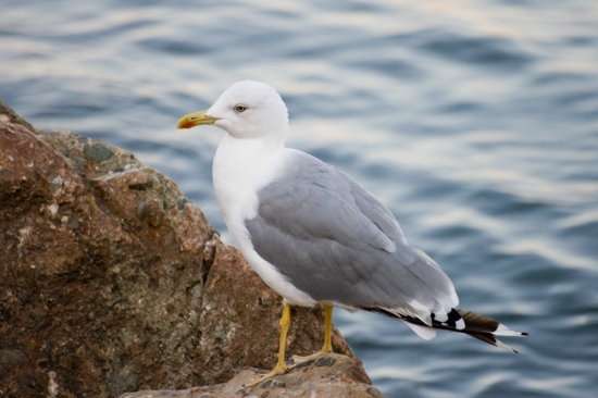 A seagull in Crimea