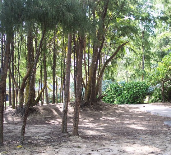Ironwood trees at the Kailua Beach Park.  It is said that it is not a picnic without the wind in ...