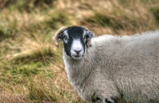 sheep ram wild animal moors goathland yorkshire