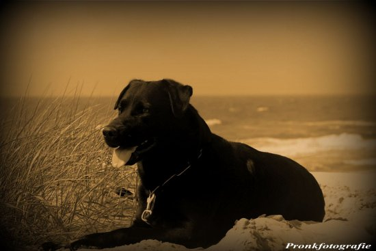 dog sepia beach