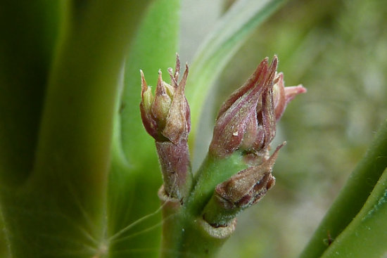 Three buds