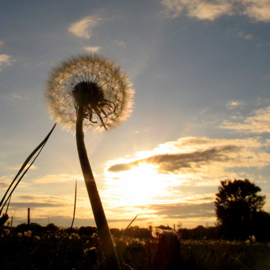dandelion seed sunset