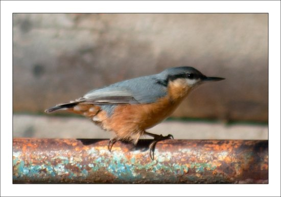 uthatch bird animal fauna nature autumn nikon sigma pleven bulgaria