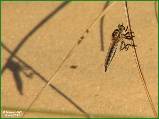 Minimalism...  A robber fly and its shadow...