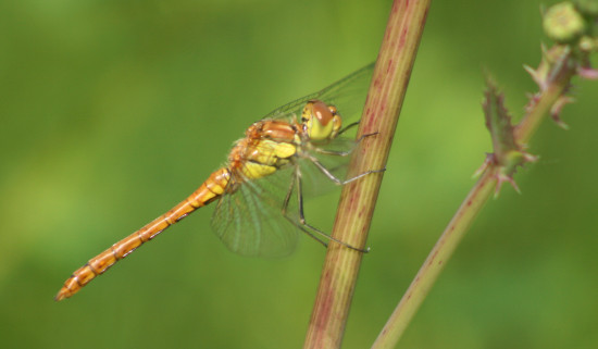 nature dragonfly luxembourg