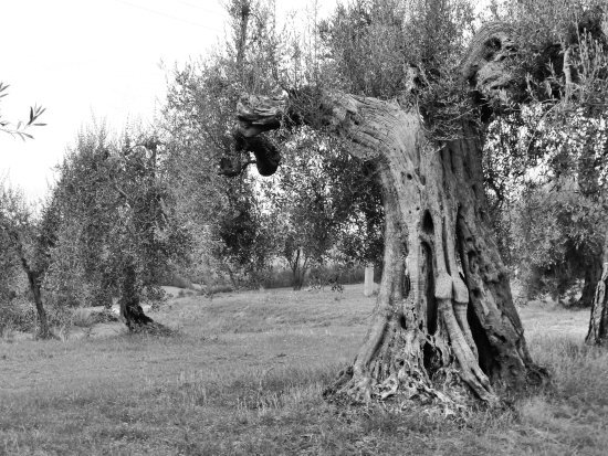 nature olive tree badia italy 2012