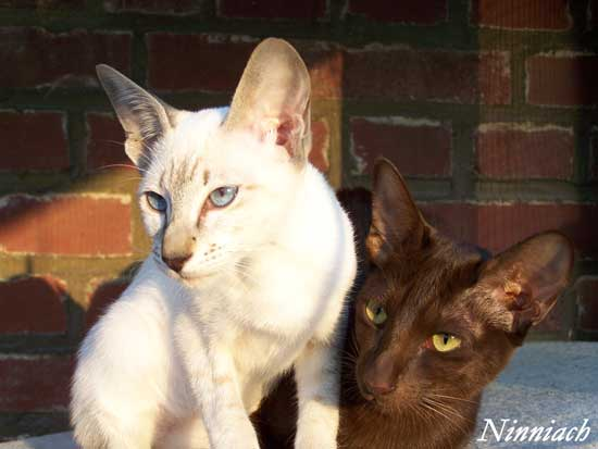 Siamese Oriental Shorthair Cat