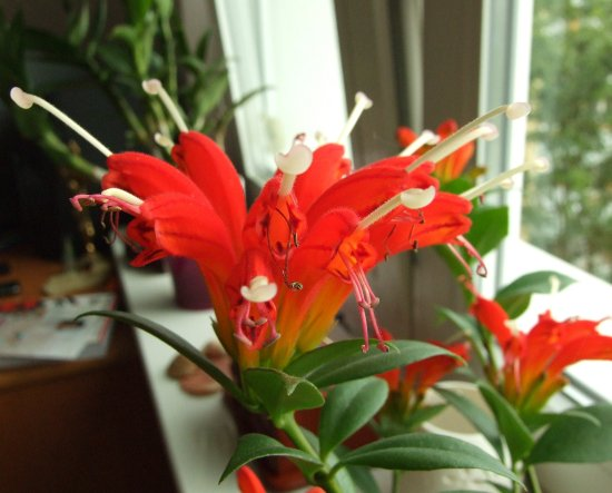 flower red aeschynanthus