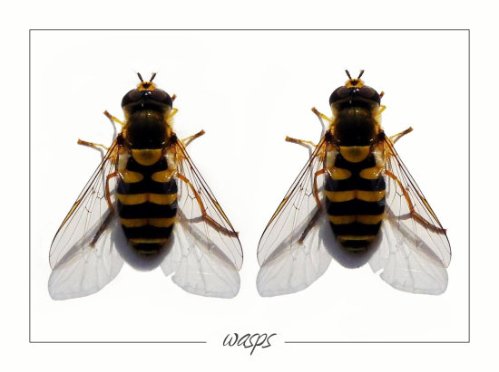 wasp insect white photoshopped