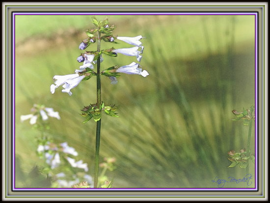 Ajuga flower spikes in the south edge of the pond.  Papyrus in the background.