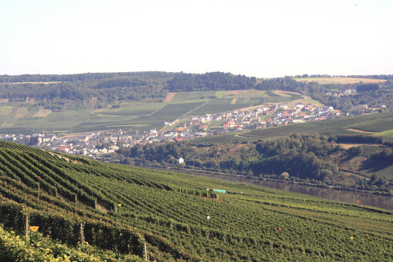 Grape vintage in Luxembourg