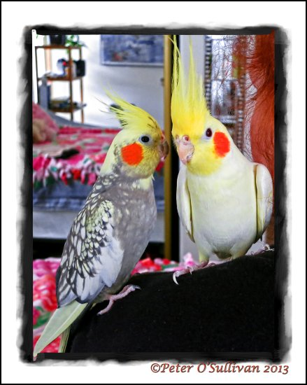 familypetfriday cockatiels birds kiki suzy Portland Oregon USA