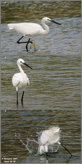 This is the Little Egret from the previous shot in a solo act  1) I�m hungry, let�s get some fi...