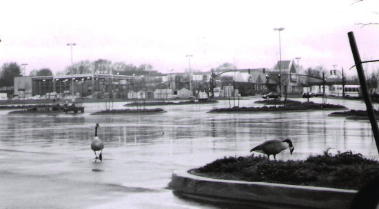 geese in the parking lot