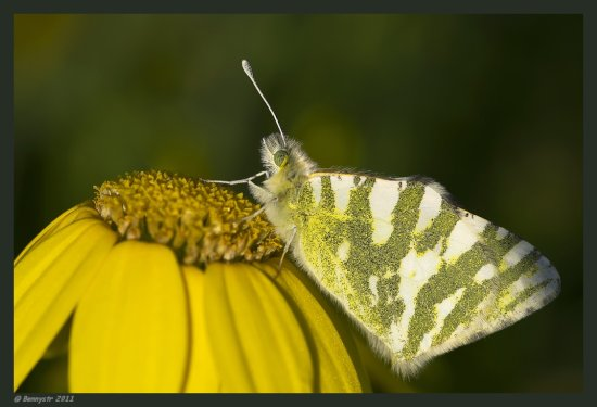 Same butterfly, same flower, different angle...  Try the original view...