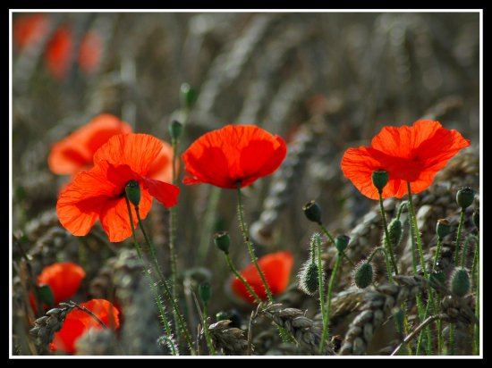 """Through the dancing poppies stole