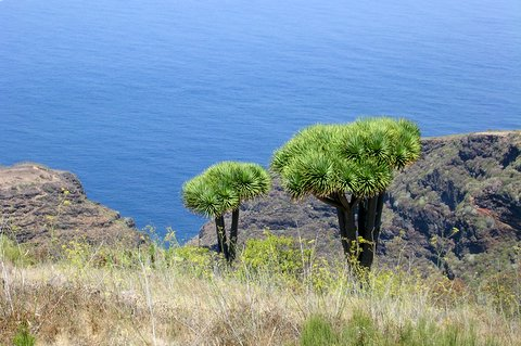 Dragotrees Island of La Palma