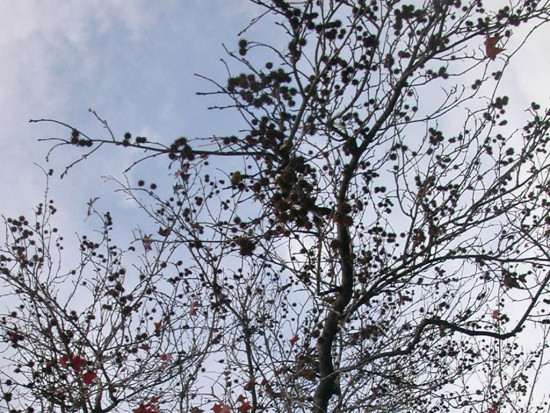 tree naturefph seedpods winter sweetgum liquidambar sky clouds filtersfph