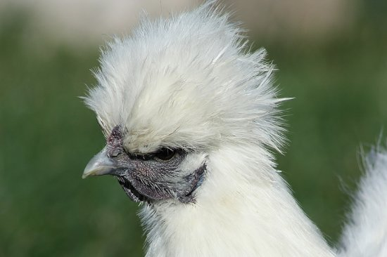 "One of my Silkie Chickens.  My husband calls them the ""posh"" ones"