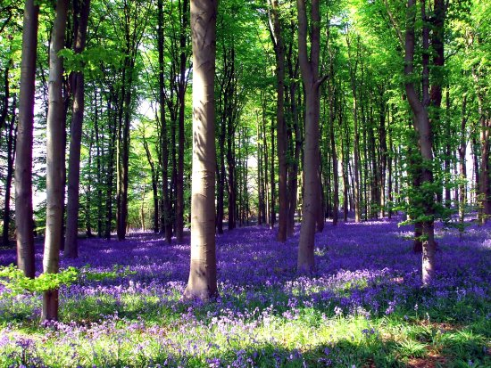 So very blue a sea of Bluebells as far as you could see