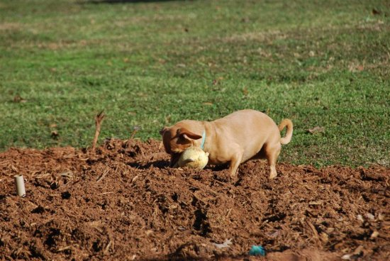 Dixie works hard to bury the toy