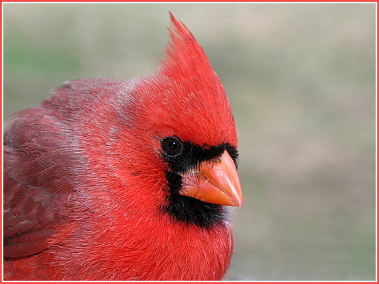 bird cardinal male nature wildlife