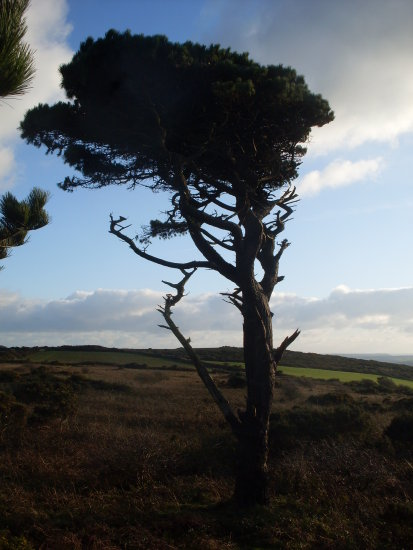 cornwall tree