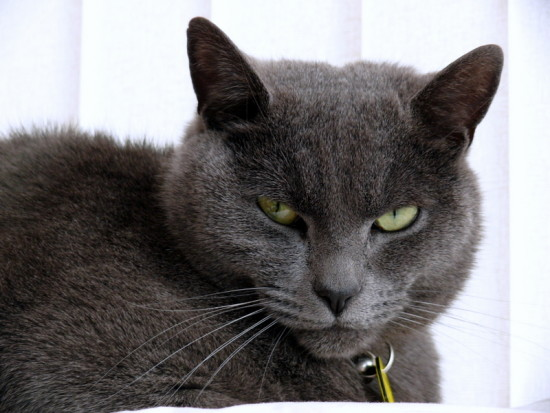 Cat Feline RussianBlue Pet