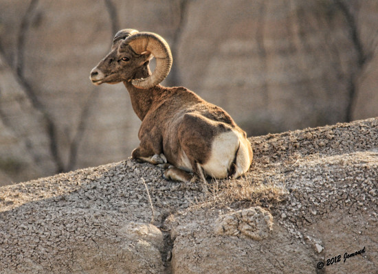 badlands southdakota animals mountaingoat