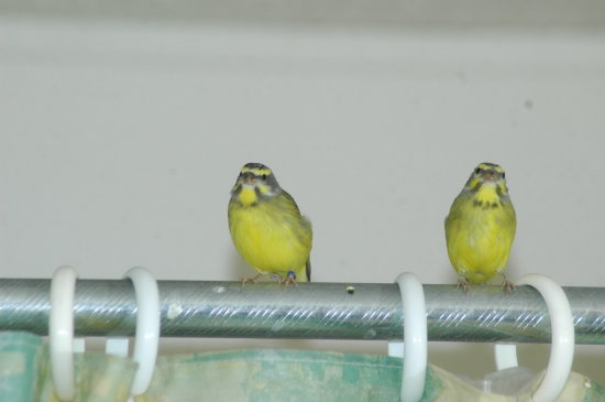 Birds Animals Green Singing Finches