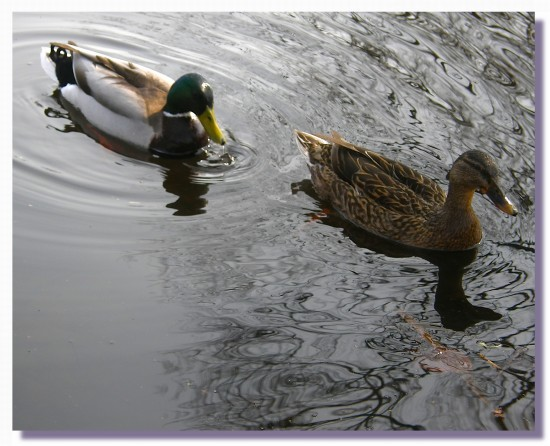 netherlands sgraveland bird duck waterfriday2 nethx sgrax birdx duckx