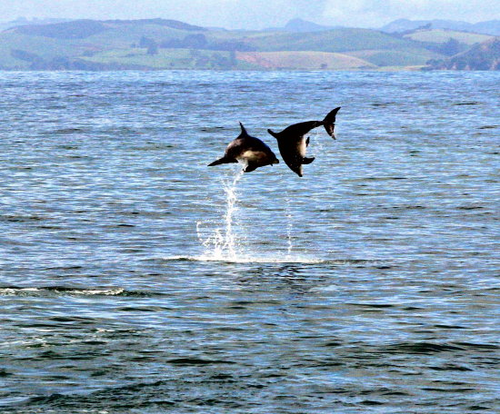 dolphins jump bay of islands bayofislands wildlife